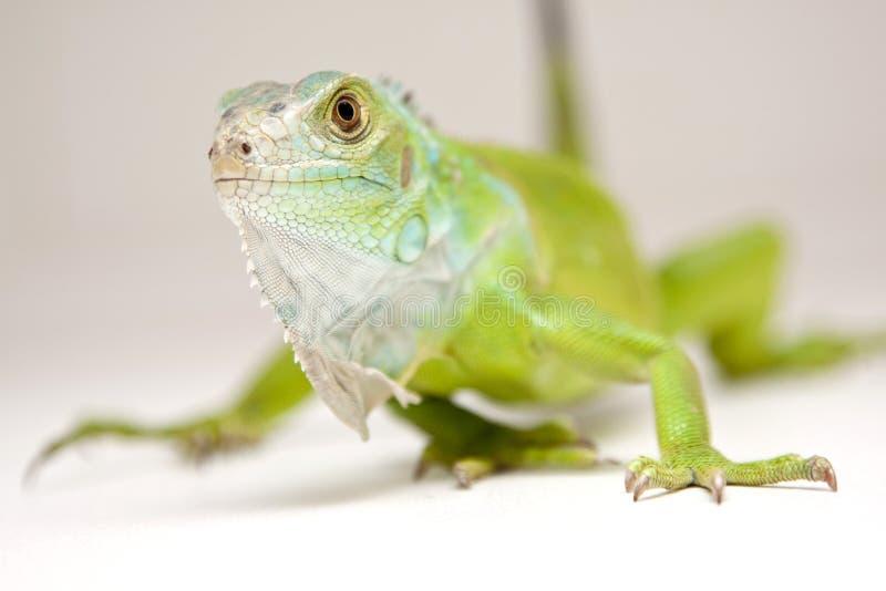 iguana portret zdjęcia stock