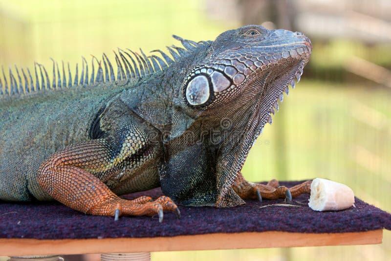 Iguana Prepares To Eat Banana Stock Photography