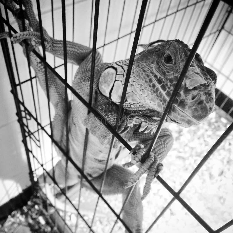 Iguana preto e branco fotografia de stock royalty free