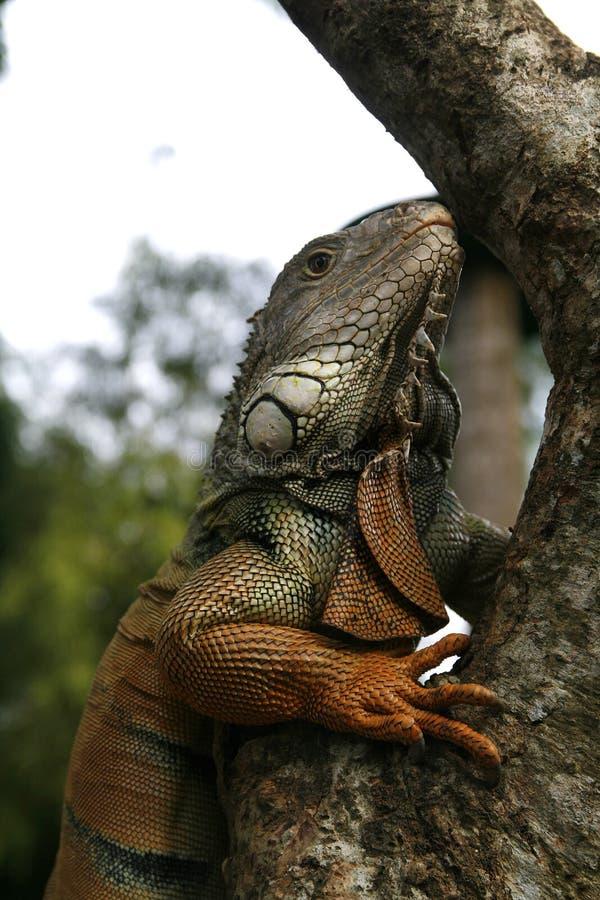 Iguana profile royalty free stock images