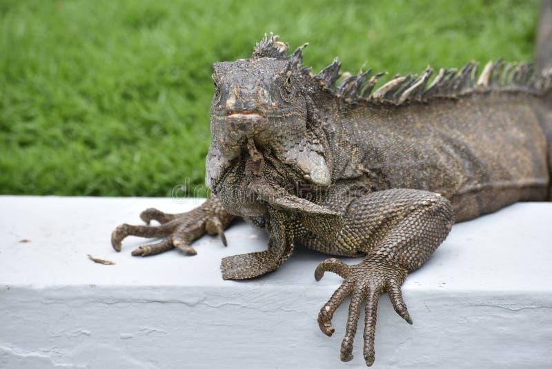 Iguana przy Sarmiento parkiem zdjęcia stock