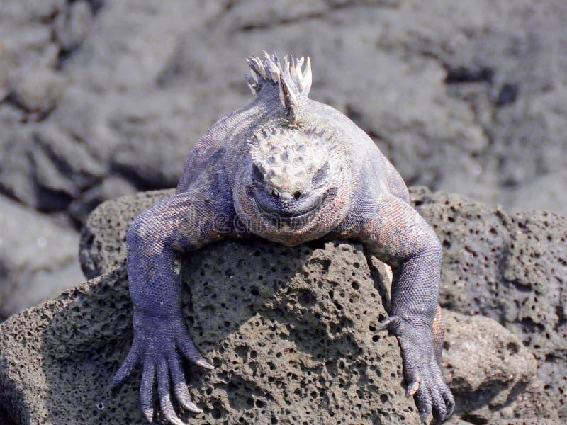 Iguana que aquece-se no sol fotografia de stock