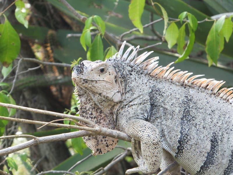 Iguana que coge algunos rayos fotografía de archivo