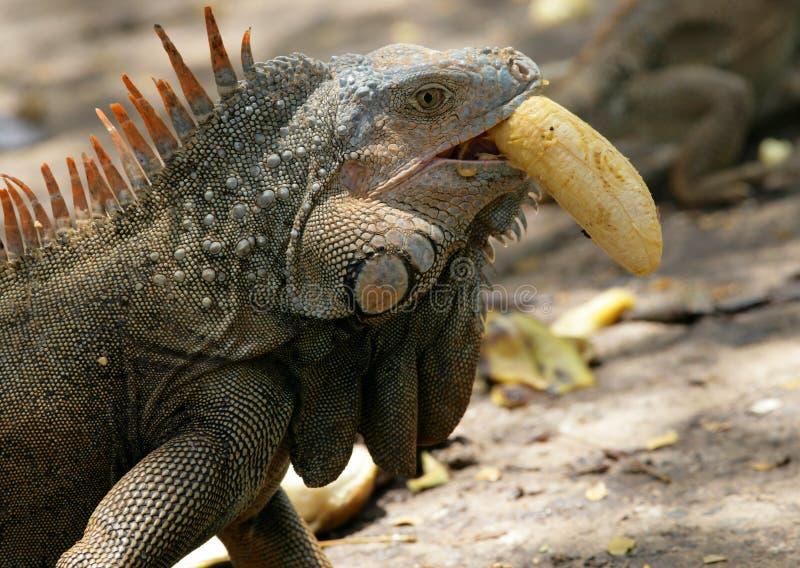 Iguana que come a banana foto de stock