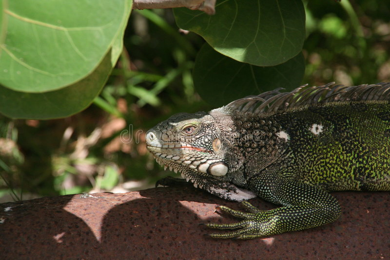 Iguana que espera imagen de archivo libre de regalías