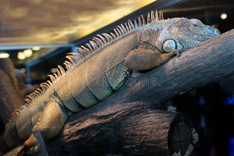 Iguana que levanta em um ramo de madeira no jardim zoológico imagem de stock