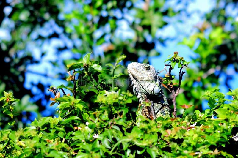 Iguana que levanta, parque de Florida imagem de stock