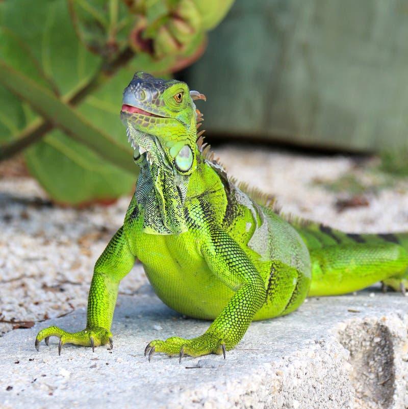 Iguana que mostra a língua fotografia de stock royalty free