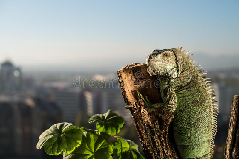Iguana que rasteja em uma parte de madeira e de levantamento foto de stock royalty free