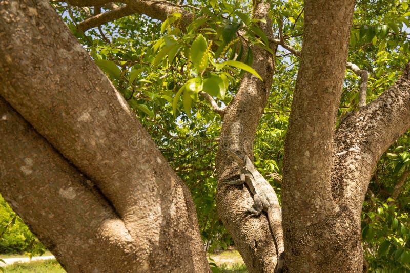 Iguana que se sienta en un árbol imagen de archivo libre de regalías