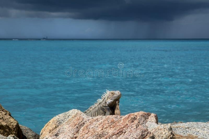 Iguana que senta-se ainda em uma rocha imagem de stock