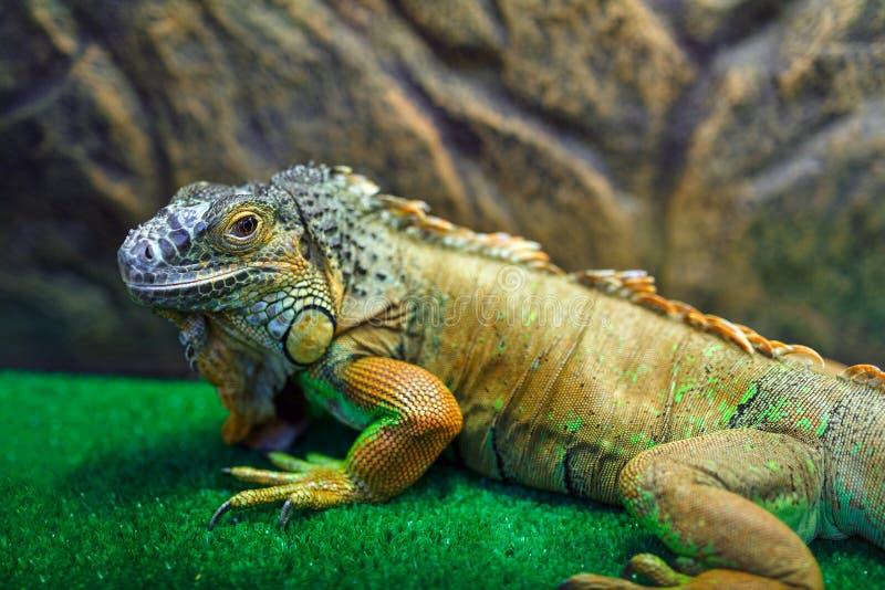 Iguana que senta-se na grama imagens de stock