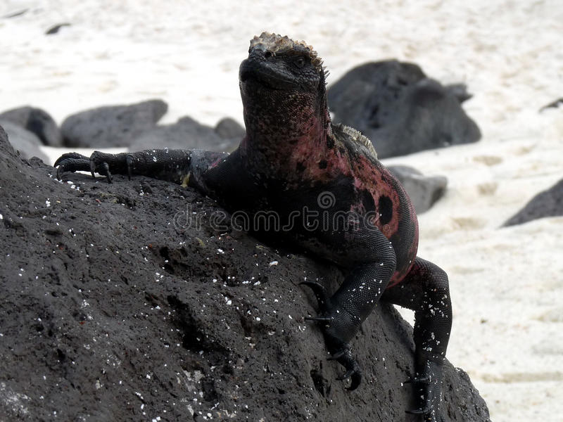 Iguana que sube imagen de archivo