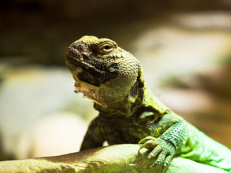 Iguana relaxing on a stone royalty free stock photo