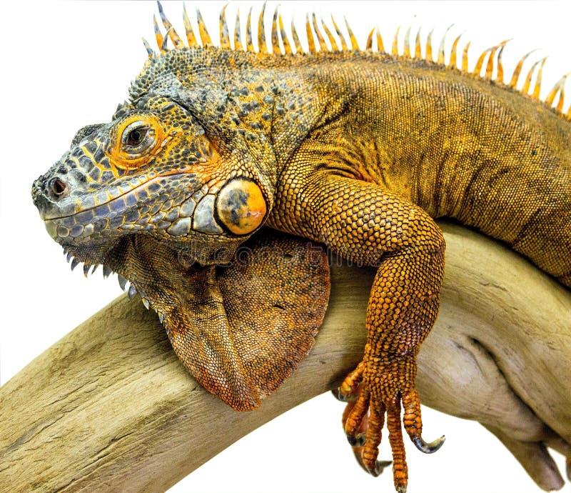Iguana reptile animal. Lizard isolated in white royalty free stock photos