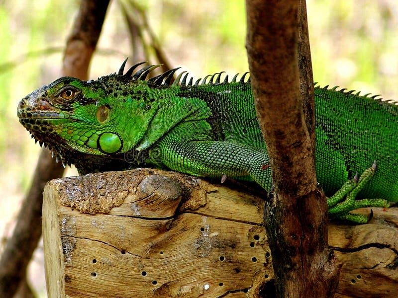 Download Iguana resting stock photo. Image of flora, tree, iguana - 30696