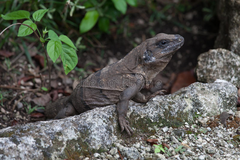 Iguana resting on rock royalty free stock images
