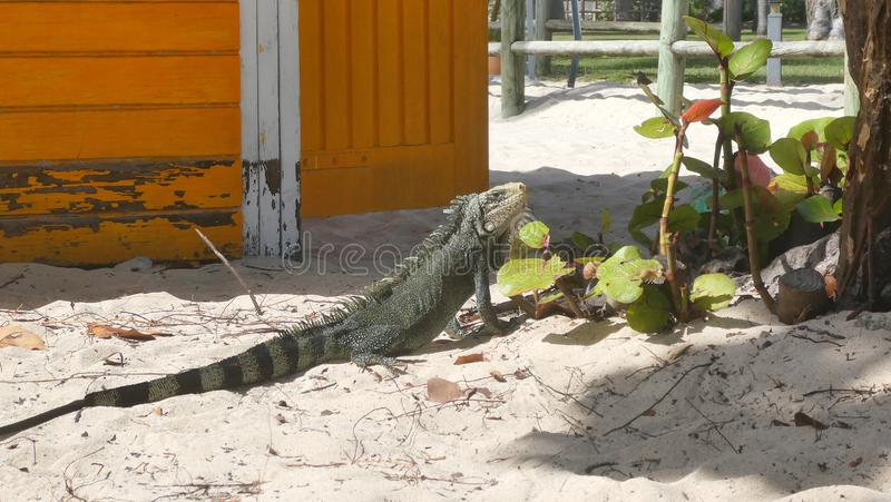 Iguana resting on the sand in La Caravalle beach stock photos