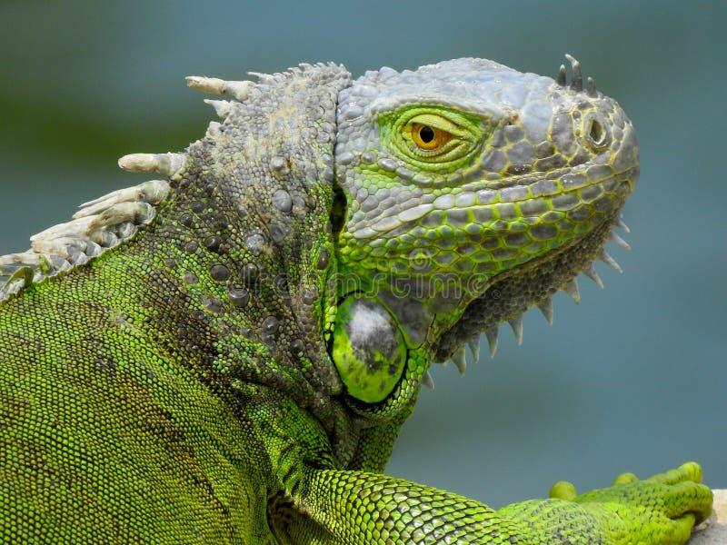 Iguana, retrato de uma espécie invasora foto de stock royalty free