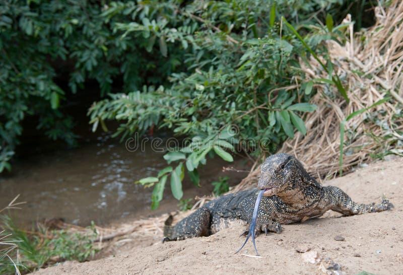 Iguana On Riverbank Stock Photography