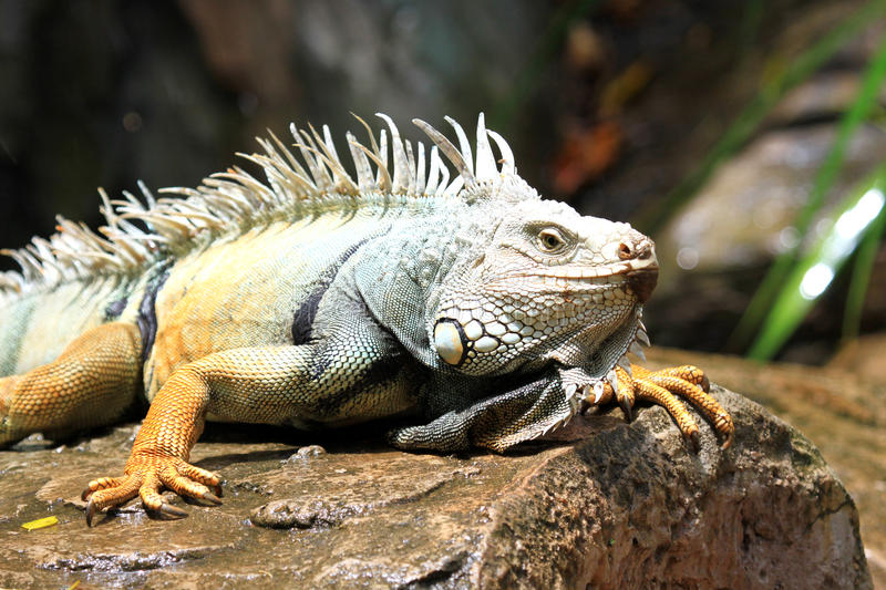 Download Iguana on the rock stock image. Image of organism, foreground - 26801891