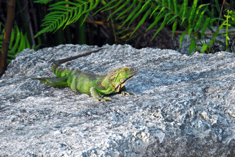 Iguana on Rock. Center Focused on Iguana Posed on Rock stock photography