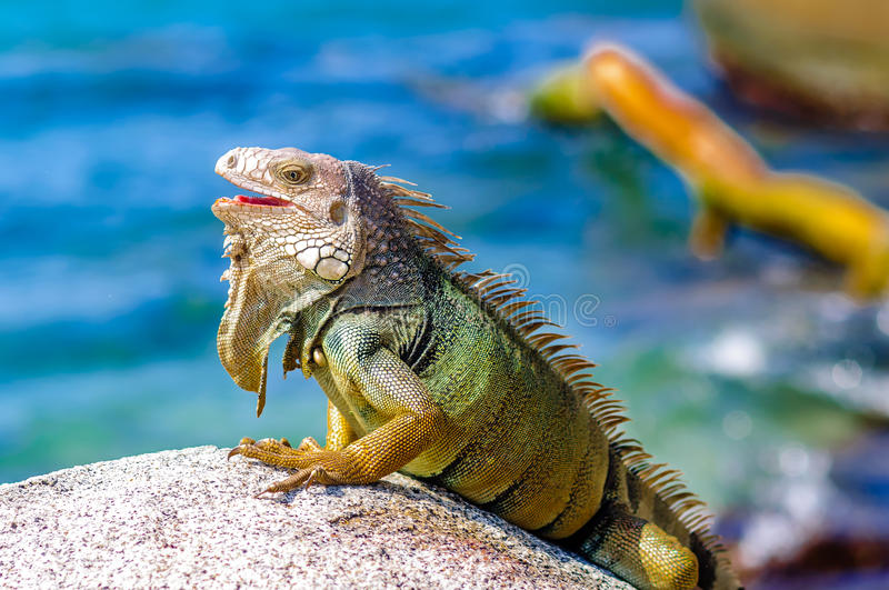 Iguana on a rock in National park Tayrona in Colombia stock photo