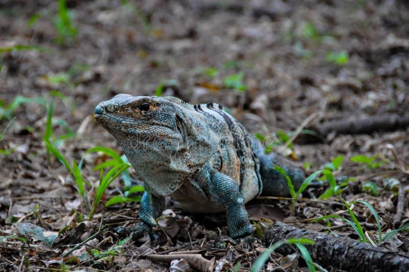 Iguana in Santa Rosa National Park, Costa Rica immagini stock libere da diritti