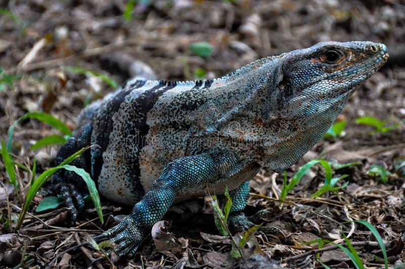Iguana in Santa Rosa National Park, Costa Rica fotografia stock libera da diritti