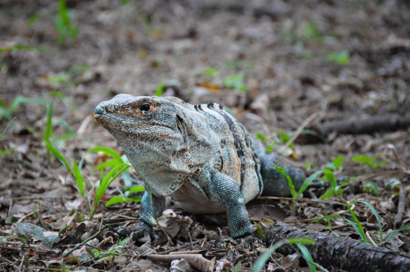 Iguana in Santa Rosa National Park, Costa Rica immagine stock libera da diritti