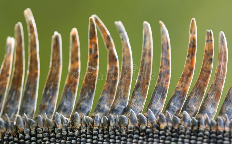 Download Iguana scales stock photo. Image of spiny, iguana, green - 4072654