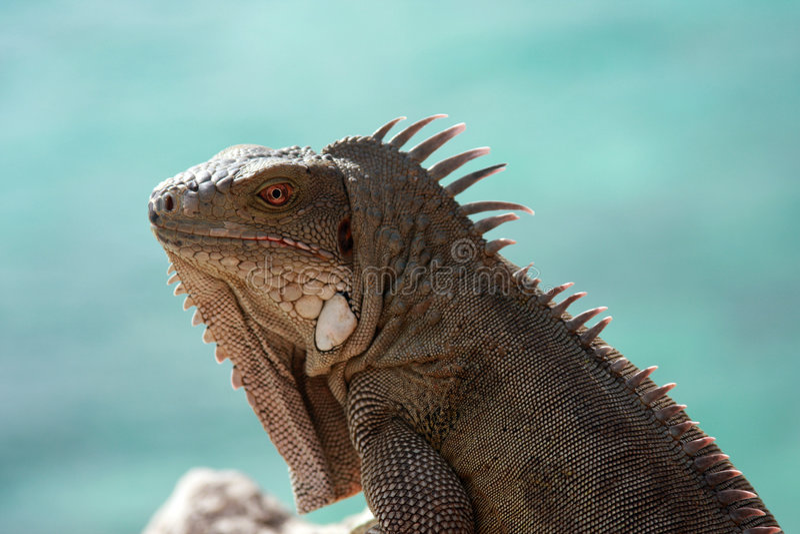 Iguana by sea stock images