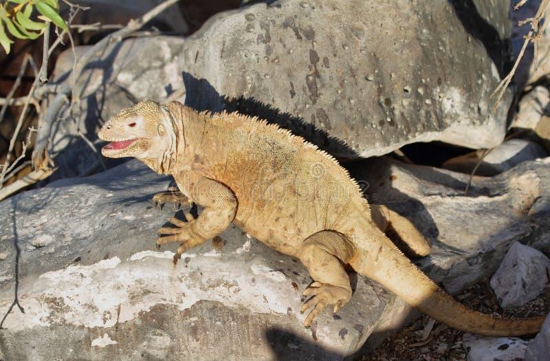 Iguana selvagem da terra na ilha de Santa Fe fotografia de stock