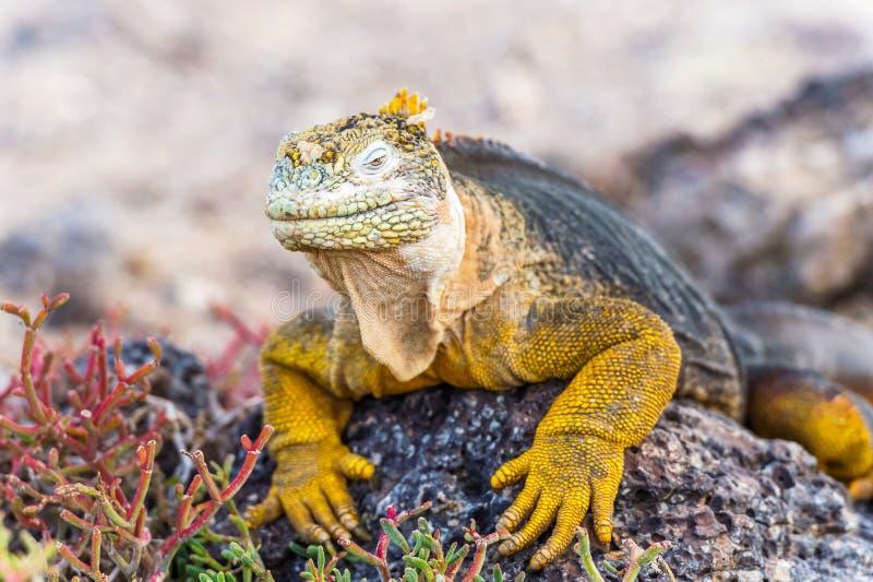 Iguana selvagem da terra na ilha de Santa Fe em Galápagos foto de stock royalty free
