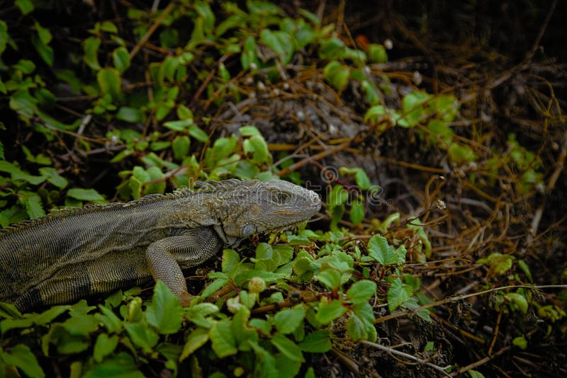 Iguana selvagem tropical fotos de stock