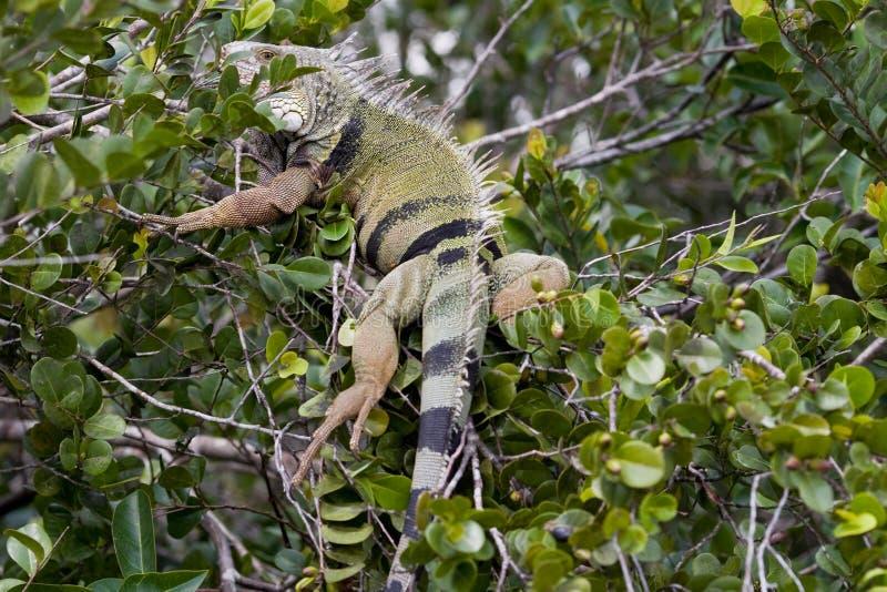 Iguana selvaggia immagine stock libera da diritti