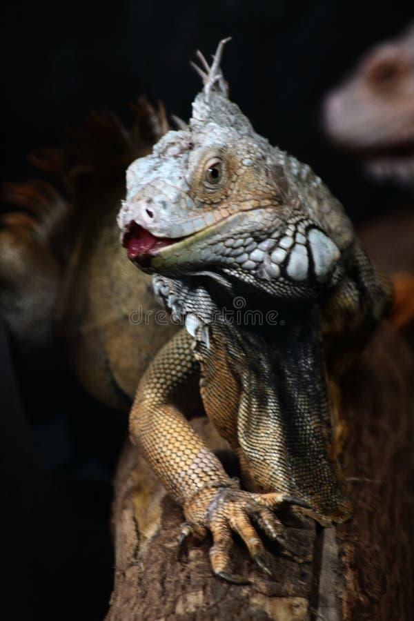 Iguana sentada en el tronco foto de archivo