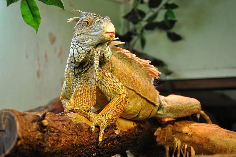 Iguana sits on a dry tree branch. stock photography