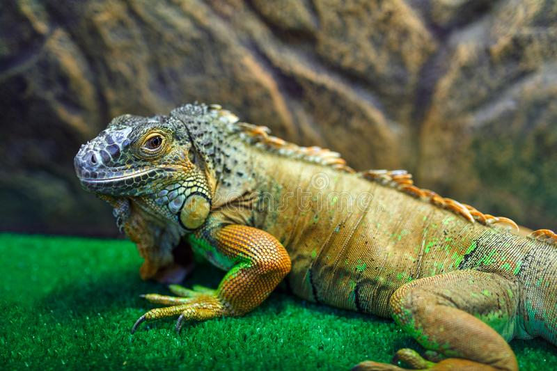 Iguana sitting on the grass stock images
