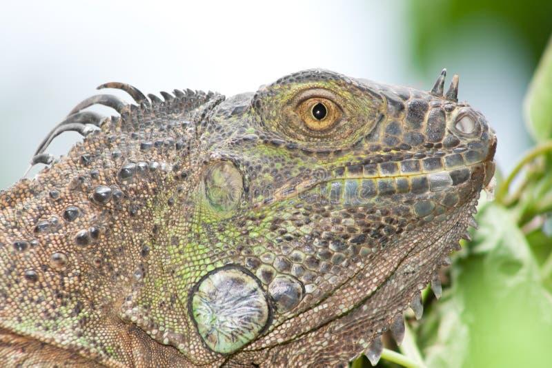 Iguana solene fotografia de stock royalty free