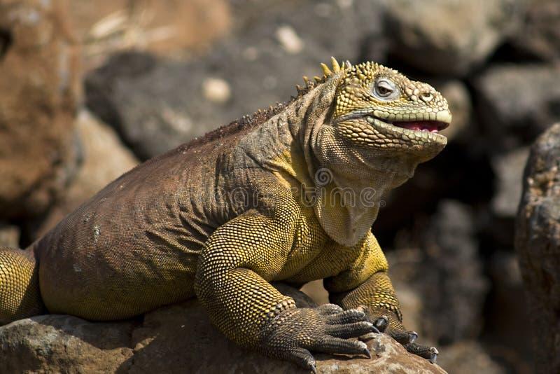 Iguana sorridente fotografie stock libere da diritti