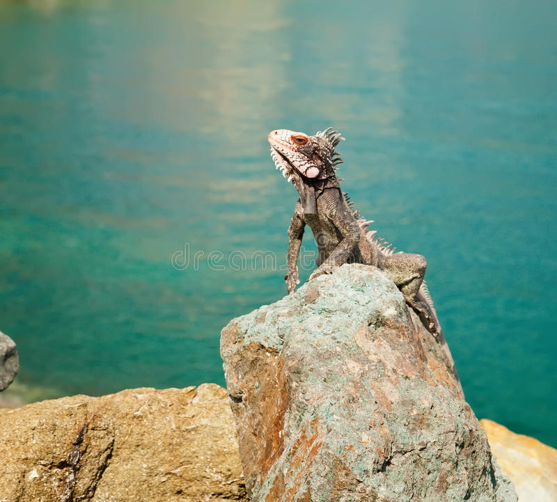 Iguana in st Thomas, caraibico fotografie stock