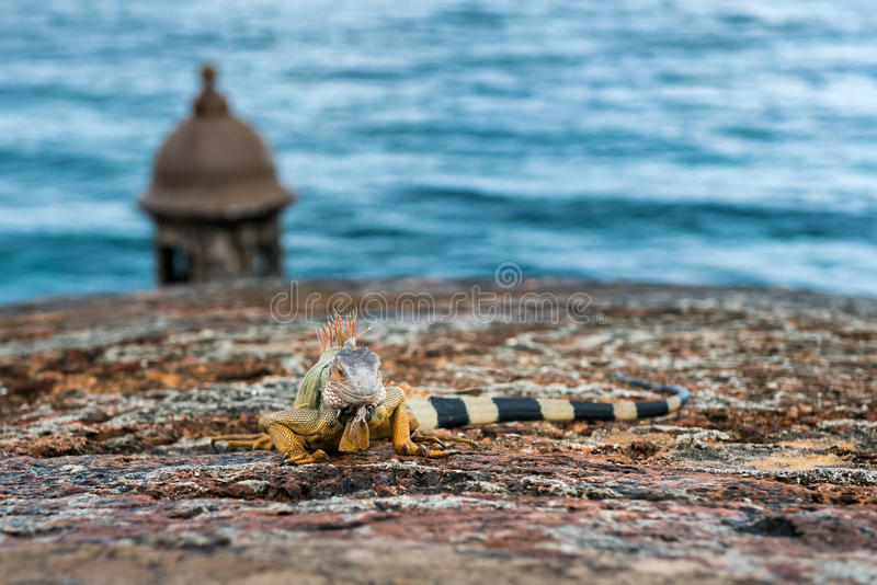 Iguana on stone castle wall shallow depth of field. Iguana on wall castle wall with turret and ocean in background stock photography