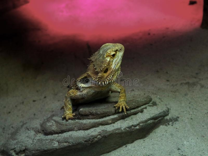 Iguana on a stone with head held high stock image
