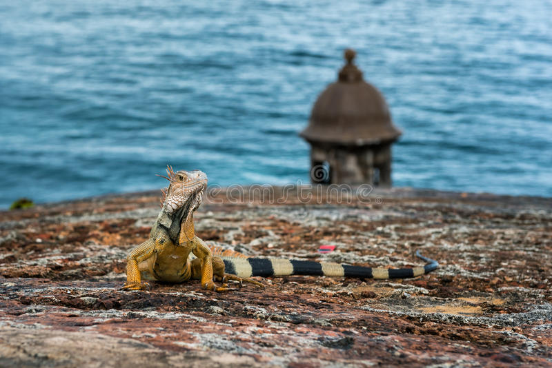 Iguana on stone wall raising head and staring. With turret and ocean in background stock images