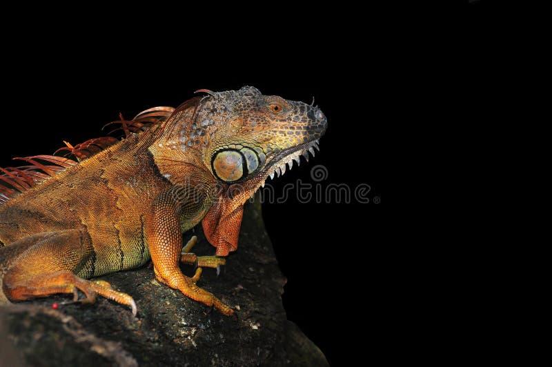 Iguana su fondo nero fotografia stock