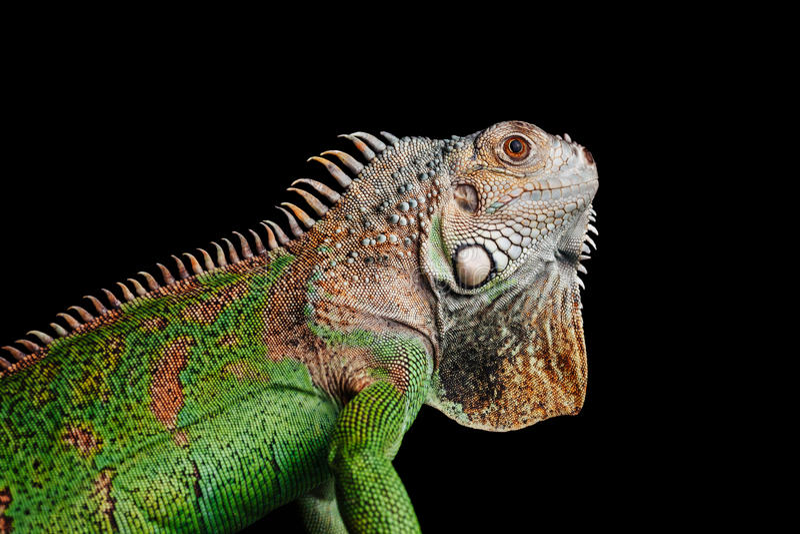 Iguana su fondo nero immagini stock
