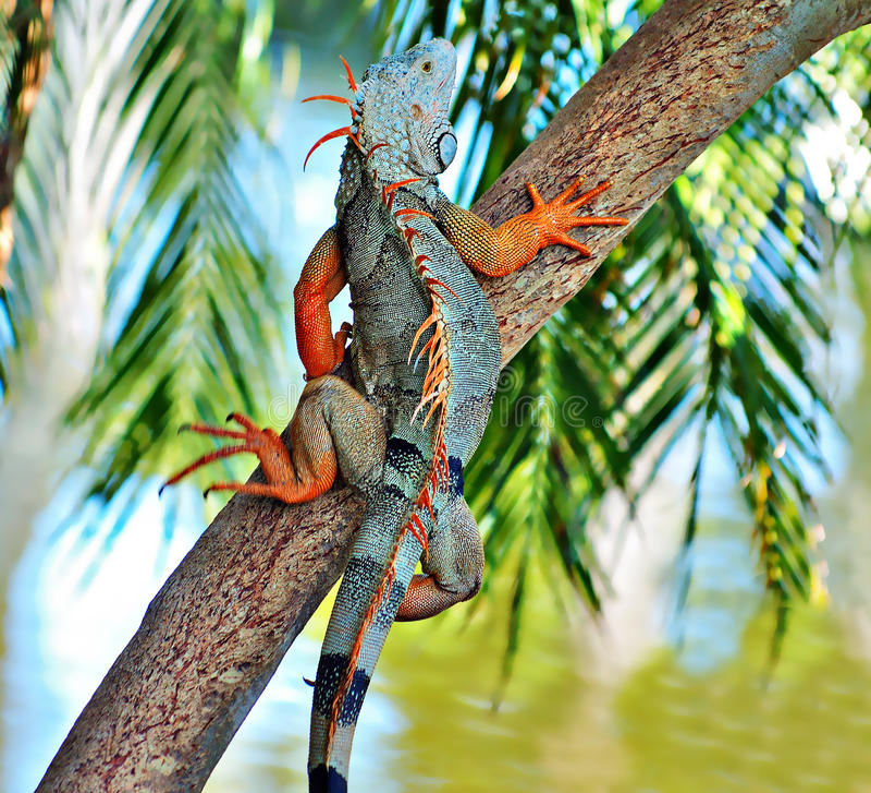 Iguana su un albero fotografia stock libera da diritti