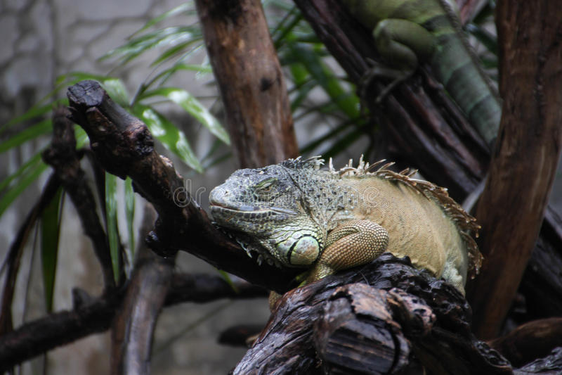 Iguana sui rami di albero immagini stock libere da diritti