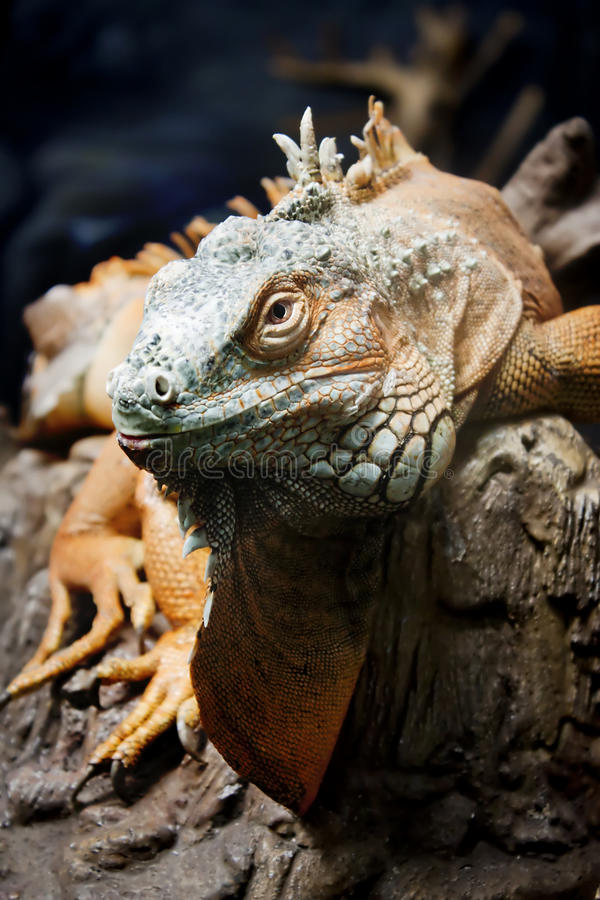 Iguana sul ramo fotografia stock